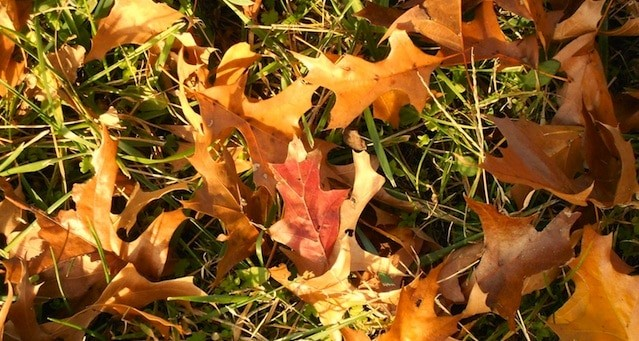 Autumn-leaves-on-lawn-preaparing-lawn-in-fall