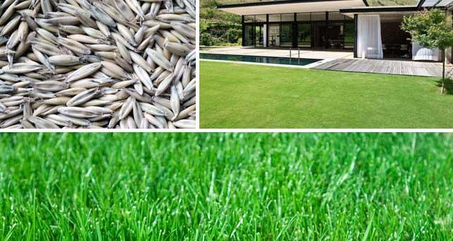grass-seed-sun