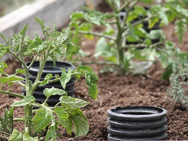 tomato-irrigation-deep-watering