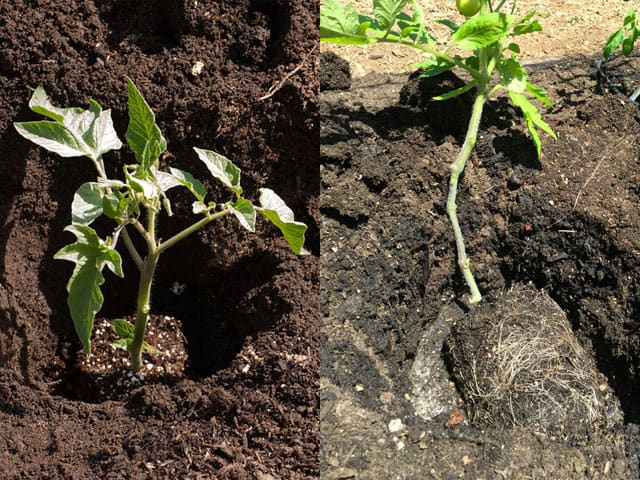 tomato-planting-more-roots